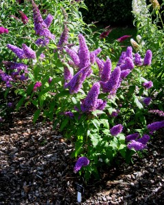 Buddlejas make great garden plants